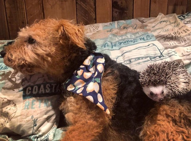 Olive and Rosie cuddling (PA Real Life/@olive_the_hedgehog_)