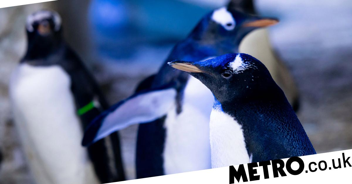 Gay penguin couple adopt first gender neutral penguin at London aquarium