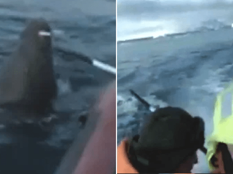 Moment walrus attacks Russian Navy vessel that got too close to its calf
