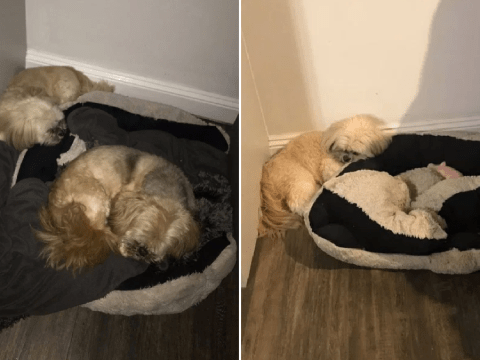 Heartbreaking picture of dog leaving space for his 15-year-old best friend over a year after he died