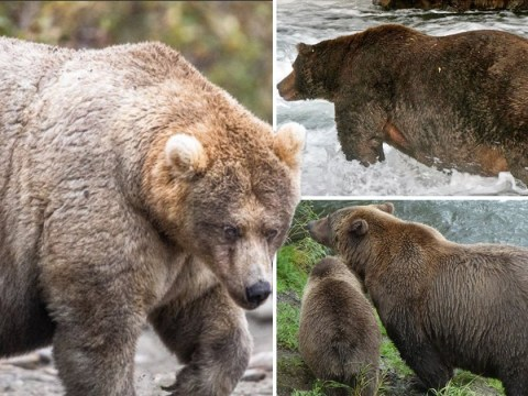 This national park wants you to vote for its fattest bear