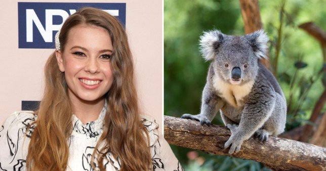 Bindi Irwin to walk down the aisle with a koala at wedding