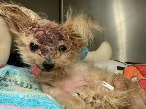 Brain-damaged dog dies after being found dumped in a bin