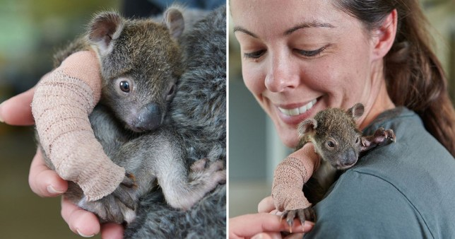 Rescue baby koala given the cutest little arm cast after falling from a tree