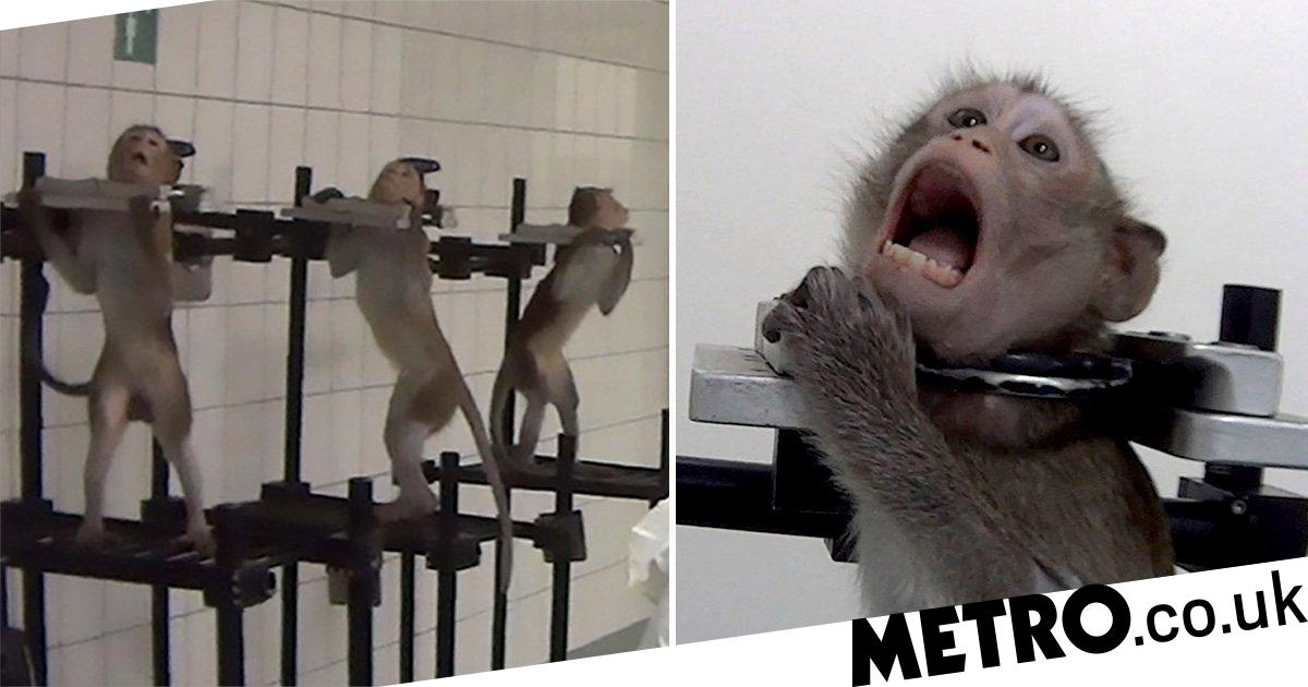 Monkeys scream out in pain in secret footage recorded at 'German lab'