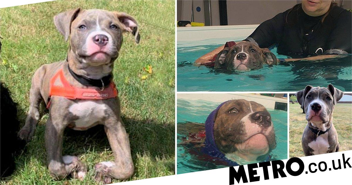 Winnie the 'wonky' bulldog is learning to walk thanks to swimming lessons
