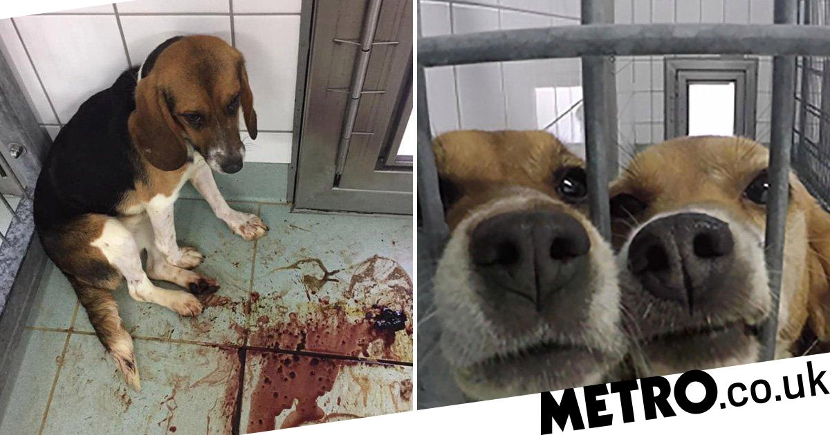 Poisoned beagles slowly die in pools of blood at 'German lab'