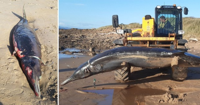 The Sowerby's beaked whale may have been trapped for months, according to a veterinary pathologist