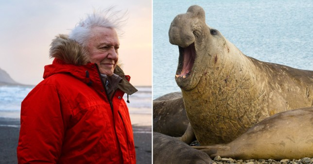 David Attenborough and the Bull seals