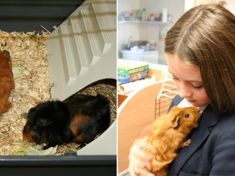 School adopts guinea pigs to help anxious and stressed pupils