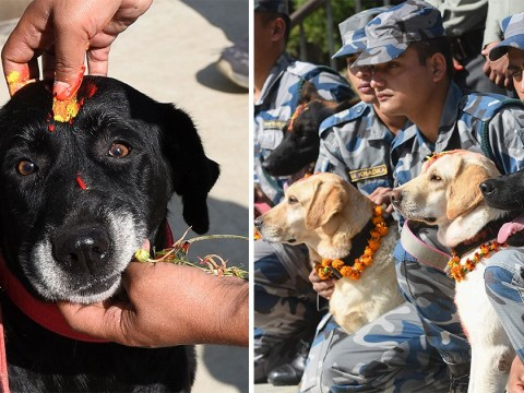 Dogs worshipped and garnished with flowers at festival in Nepal