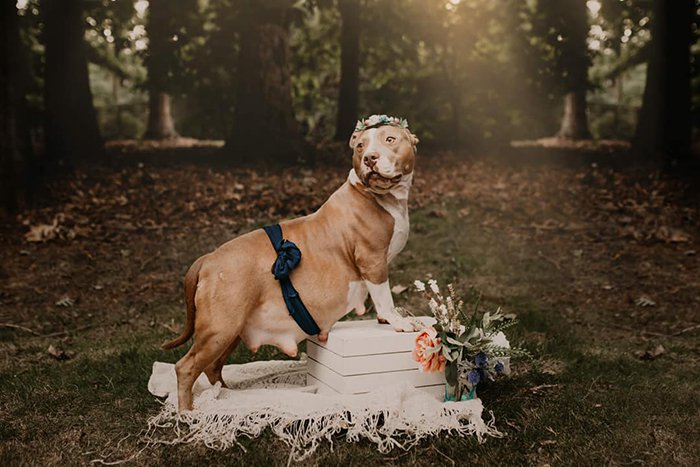 Pitbull's maternity photoshoot Picture: Enchanted Hills Photography supplied to metro.co.uk