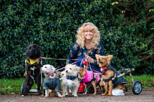 Claire-Louise Nixon, 51 out walking 8 of her 27 dogs that she has helped to walk again. See Cambridge copy SWCAdogs: Dog-lover Claire-Louise Nixon has told how she shares her semi-detached house with her family - and a staggering 27 rescued pooches.Claire-Louise, 48, rescues sick and paralysed dogs from around the world and looks after them at her humble home in Milton Keynes, Bucks.She says looking after the brood of canines is a full-time job and takes her from 6am until midnight.