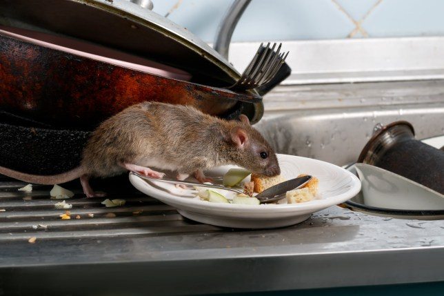 Fears 120 000 000 Rats Could Invade Our Homes In The Cold