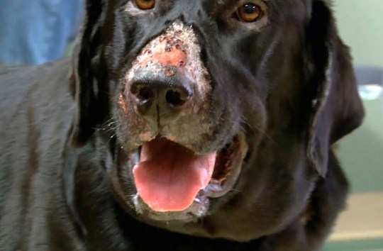 WESSEX NEWS AGENCY Jim Hardy email news@britishnews.co.uk mobile 07501 221880 STORY CATCHLINE: ALABAMA Heartbreak is on the cards after vets confirmed today that there's been a new outbreak of dreaded Alabama Rot which 'eats' the flesh of family pets. Pic shows it eats the flesh