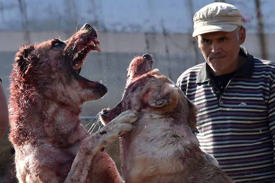 """Central Asia's shepherd dogs (alabay) take part in a dogfight in the arena in the Kyrgyztan capital Bishkek on October 20, 2019. - About 25 owners brought their dogs to take part in the """"champion breed"""" event. (Photo by Vyacheslav OSELEDKO / AFP) (Photo by VYACHESLAV OSELEDKO/AFP via Getty Images)"""