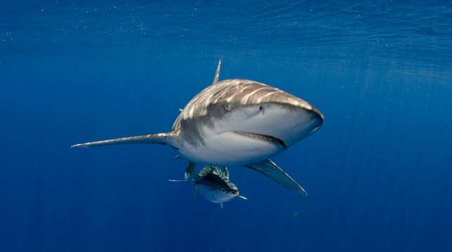 Oceanic whitetip shark (Carcharhinus longimanus) swims in open water off the islands of the Bahamas.