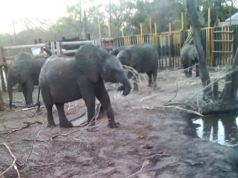 Outrage as Zimbabwe sends dozens of young elephants to zoos in China