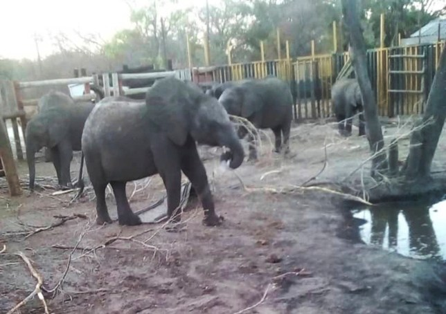 This photo supplied by the Humane Society International/Africa (HSI/Africa) shows young elephants being held in a fenced area in the Hwange Game Reserve in Zimbabwe Friday, Oct. 18, 2019, being held for export to China. About 30 elephants, estimated to be 2 to 6 years old, were separated from maternal herds and held at Zimbabwe???s Hwange National Park for nearly a year before being flown out this week to China where they will be held in zoos, according to the Humane Society International.(Photo HSI/Africa via AP)