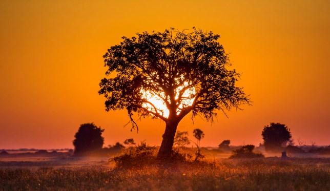 Tree at Sunset in Botswana. Okavango Delta. Africa