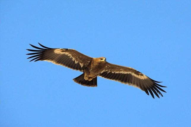 (GERMANY OUT) SteppenadlerSteppe EagleAquila nipalensisAigle des steppes??guila Esteparia (Photo by Mathias Schaef/McPhoto/ullstein bild via Getty Images)