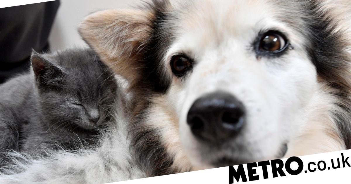 Border collie becomes surrogate mum to litter of rescued kittens