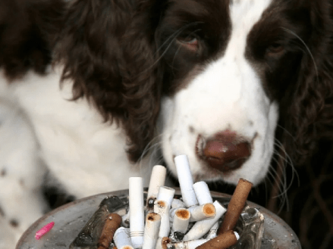 Dogs in smoking households passively puff more than 3,000 cigarettes a year