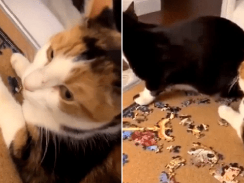 Watch as a spiteful cat pushes its feline frenemy into a pool