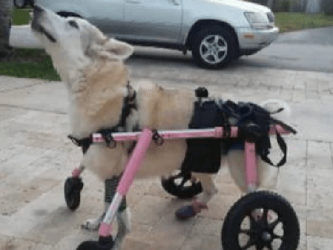 Disabled husky who used pink wheelchair is found dead days after being snatched by thief