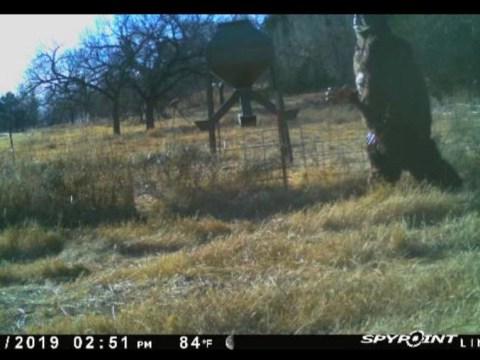 American baseball star captures 'Bigfoot' on remote camera