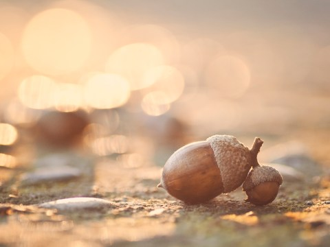 Could acorns be the next superfood trend?