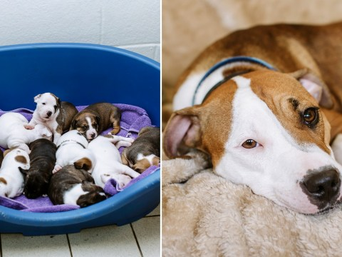 Staffy abandoned just hours before giving birth to 12 puppies