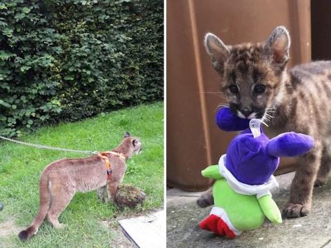 Animal lover raises wild pumas in her mum and dad's house in Devon