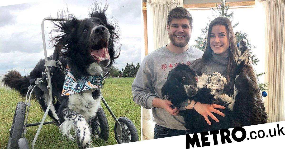 Border Collie cross with wheelchair is 'happiest dog ever'