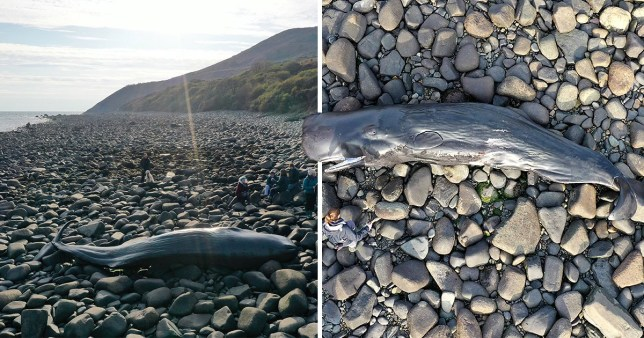 A sperm whale that washed up on a beach in North Wales died with plastic sheeting in its stomach (Picture: Wales News Service)