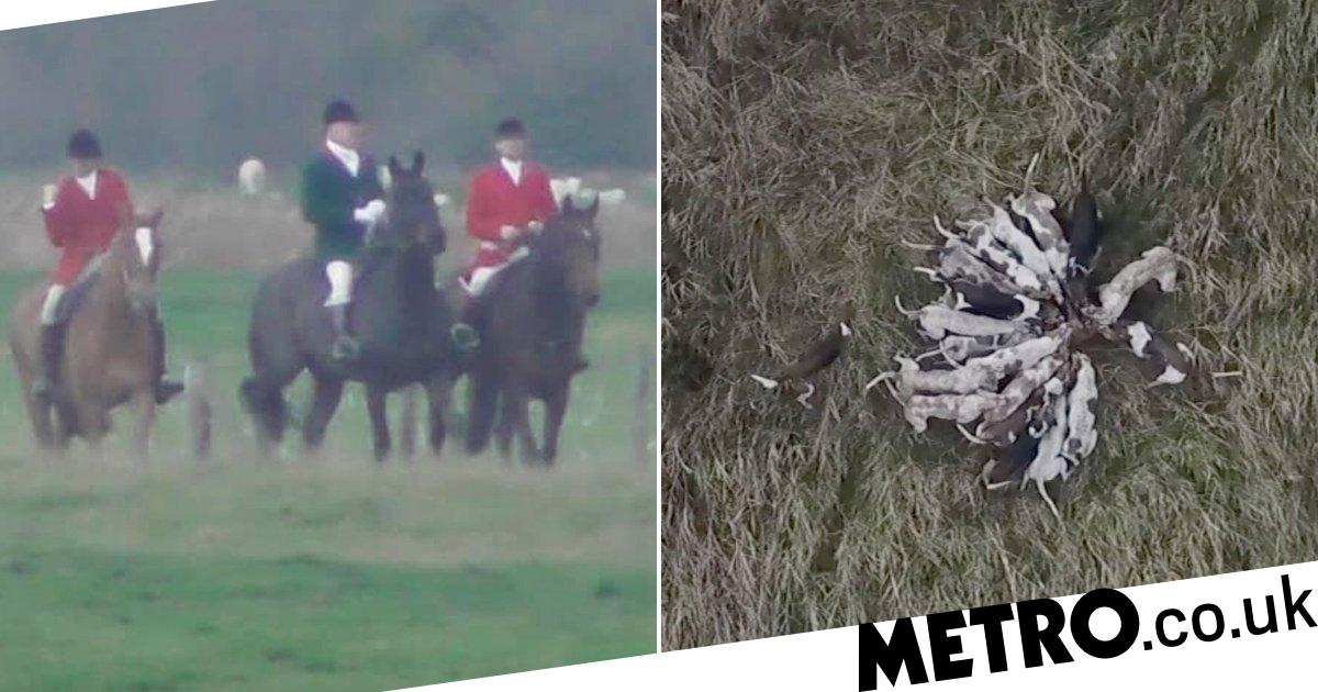 Hunters blame activists after pack of 40 dogs rip fox to shreds