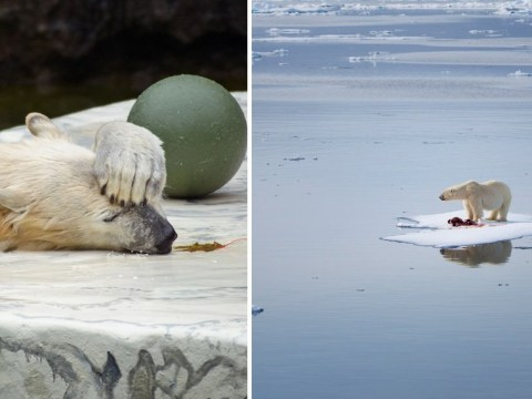 Polar bears cling onto melting ice as experts warn of extinction threat