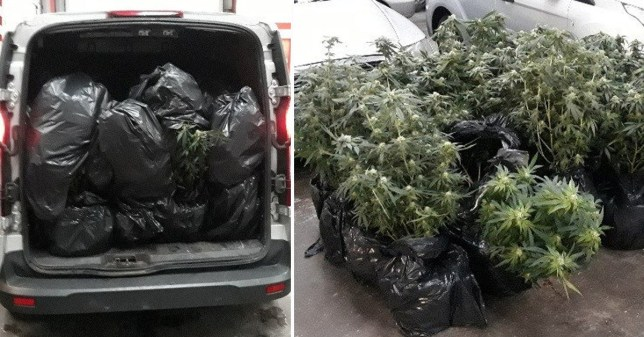 Forest of cannabis trees found stuffed in back of van trying to escape floods
