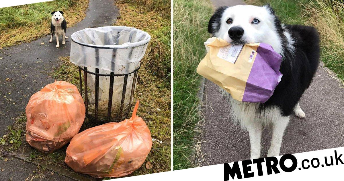 Border collie cleans up dropped rubbish on daily walks