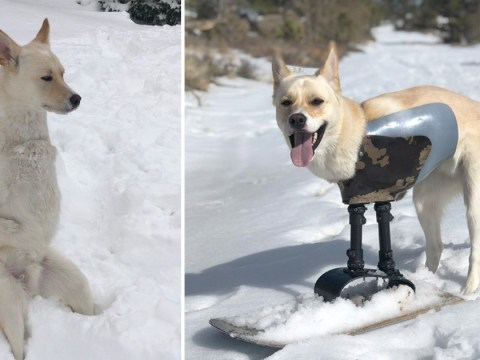 Dog who can only use two limbs gets prosthetic leg so he can go snowboarding