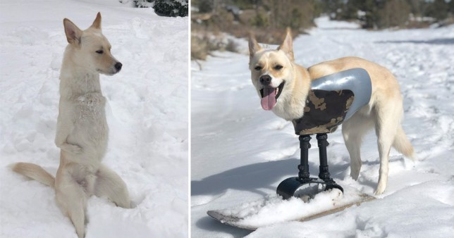 Gus the dog on his prosthetic leg and snowboard