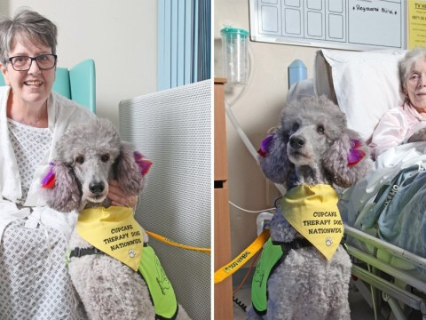 Meet Cupcake the therapy poodle who visits patients in hospital to help them feel better