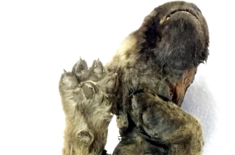 Testes de DNA no canino siberiano de 18.000 anos de idade não conseguem definir se é um lobo ou um cachorro