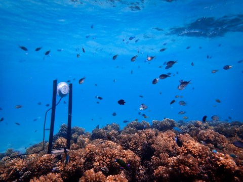 Dying coral reefs could be saved by attracting fish with underwater music