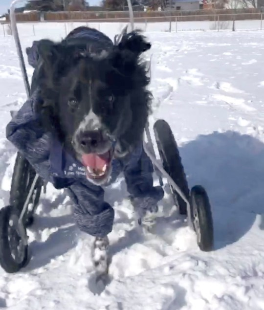PIC BY MERCURY PRESS (PICTURED Moby out for a run in his wheelchair in the snow) A wheelchair-bound wobbly dog with a brain condition which makes him fall over is still enjoying life to the full and doesnt let his condition hold him back. Adorable black and white Border Collie and Great Pyrenees cross Moby, two, was returned three times to a rescue home in Alberta, Canada, because of the difficulties involving in handling his rare condition. But when dog lover Alex van Veldhuizen, 20, saw him on Facebook she couldnt resist - and went to pick him up the next day. Now, a year and a half later, the pooch, whose neurological condition means part of his brain is smaller than usual, is living his best life - and has been dubbed the happiest dog ever. SEE MERCURY COPY