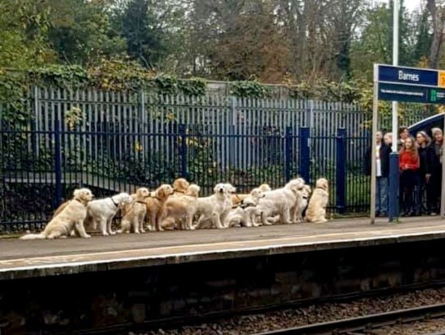 Labradors waiting for train at Barnes station (Picture: Emma Potter)