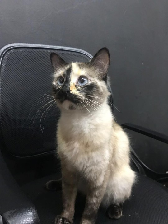 PIC BY DIANA LORENA MELO ALVAREZ/CATERS NEWS (PICTURED Gatubela.) A security camera captured the moment an adopted household cat saved a one-year-old baby from falling down a steep flight of stairs. Gatubela, the Siamese cat isn't just looking out for her own nine lives. In a video captured by an office security camera in Bogota, Colombia on October 31, one-year-old baby Samuel Le?n can be seen crawling around outside of his crib, when suddenly the little baby began heading for the doorway which immediately led to a steep flight of stairs. SEE CATERS COPY.