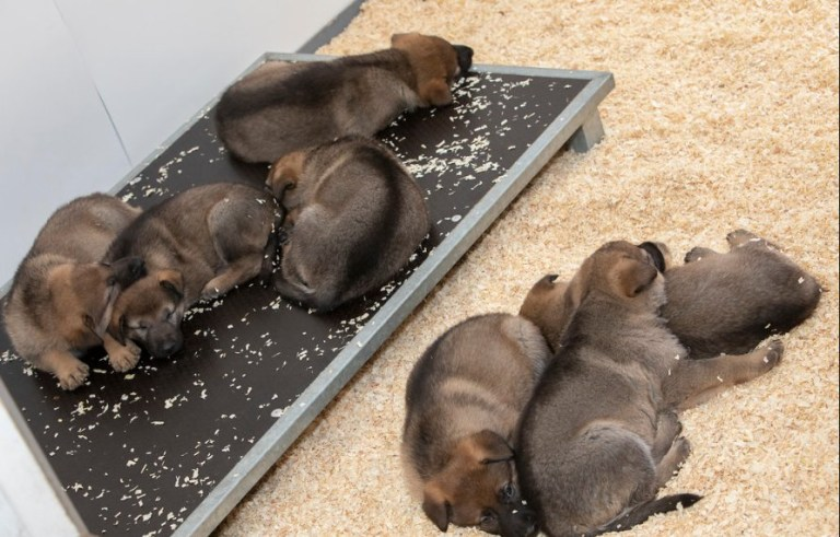 Manchester police new K9 puppies