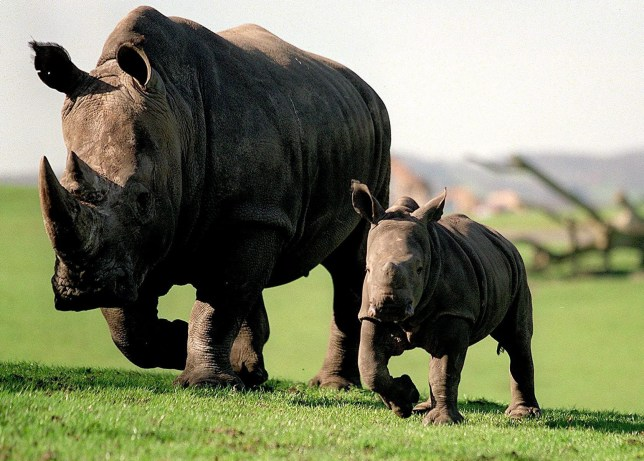 FILE PICTURE - Rhino's at West Midlands Safari Park. See NATIONAL story NNrhino. November 8, 2019. Scientists have crafted a fake rhino horn out of horse hair, in an effort to stop poachers hunting down the endangered species. The fake horns, created by researchers from the University of Oxford, are designed to confuse buyers, and diminish the demand for real rhino horns by showing that a vastly cheaper copy can infiltrate the market. In Chinese medicine, rhino horn is believed to have many benefits - including working as an aphrodisiac. Despite the crushed horn often being ground up with Viagra, the demand for rhino horn remains undimmed, continuing to drive poaching with devastating effect for the few populations left in the wild.
