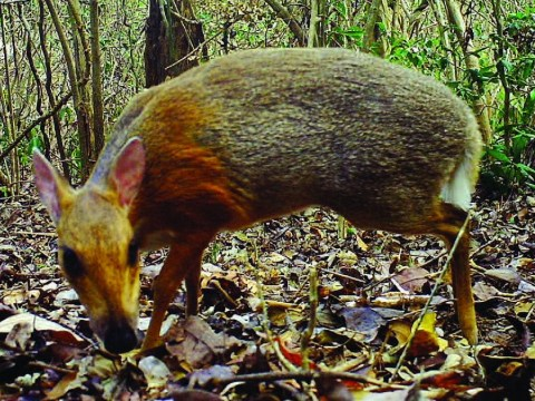 Cat-sized deer is found for first time in 30 years